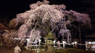 夜桜(ライトアップ)