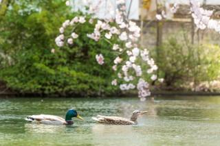 善知鳥神社の沼と鴨